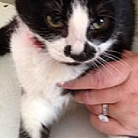 Domestic Shorthair Cat for adoption in Mesa, Arizona - Jezibel