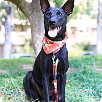 Shepherd (Unknown Type)/Labrador Retriever Mix Puppy for adoption in San Mateo, California - Sharon