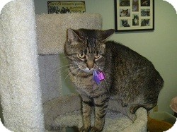 Domestic Shorthair Cat for adoption in Hamburg, New York - Madaline