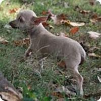Adopt A Pet :: Betty Chi Chi (In New England) - Brattleboro, VT