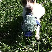 Adopt A Pet :: SCAMP - Bryan, TX