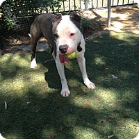 Pit Bull Terrier Mix Dog for adoption in San Diego, California - Peace