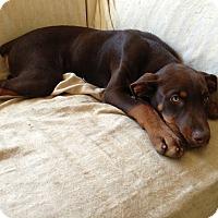 Adopt A Pet :: Bart pure Dobie - Los Angeles, CA