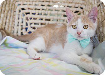 Domestic Shorthair Kitten for adoption in Montclair, California - Paws