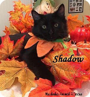 Domestic Shorthair Kitten for adoption in Huntsville, Ontario - Shadow - Adopted December 2016