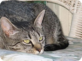 Domestic Shorthair Cat for adoption in Nashville, Tennessee - Winnie