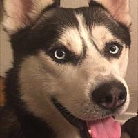 Adopt A Pet :: Romeo - Sugar Land, TX