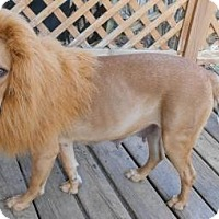 Labrador Retriever/Mastiff Mix Dog for adoption in Sheridan, Illinois - Harlow-so sweet!