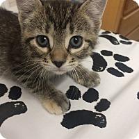 Adopt A Pet :: Shea - St. Louis, MO