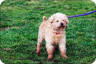 Poodle (Miniature) Mix Dog for adoption in Metamora, Indiana - Moe