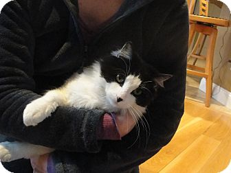 Domestic Longhair Cat for adoption in Southington, Connecticut - Cappy