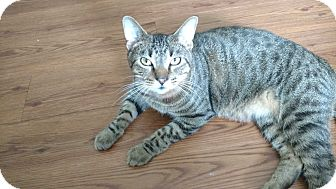 Domestic Shorthair Cat for adoption in Des Moines, Iowa - Tanner
