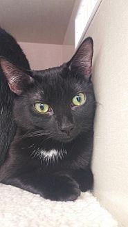 Domestic Shorthair Cat for adoption in Walnut Creek, California - Poppy