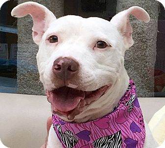 American Staffordshire Terrier Mix Dog for adoption in Evansville, Indiana - Lucy