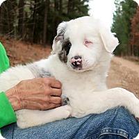 Adopt A Pet :: Levi - Rockingham, NH