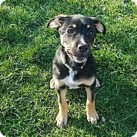 Adopt A Pet :: Bandit - Moberly, MO