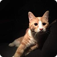 Adopt A Pet :: Houdini - Cumbeland, MD