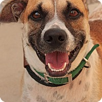 Adopt A Pet :: Clover *Waived Fee!* - Media, PA