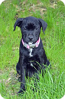 Boston Terrier Mix Puppy for adoption in Clinton, Louisiana - Bee Bee