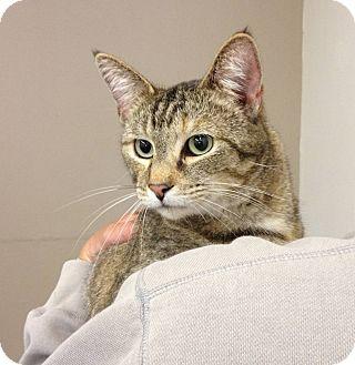 Domestic Shorthair Cat for adoption in Troy, Ohio - Gabbie