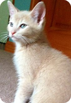 Domestic Shorthair Kitten for adoption in Mount Laurel, New Jersey - Calvin