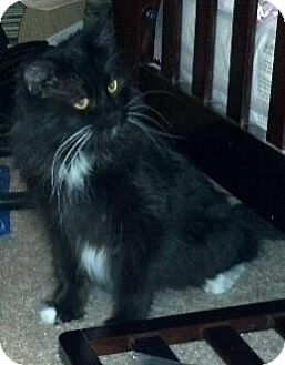 Domestic Mediumhair Cat for adoption in Scottsdale, Arizona - PIXIE