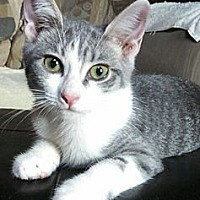 Domestic Shorthair Cat for adoption in Brighton, Missouri - Priscilla