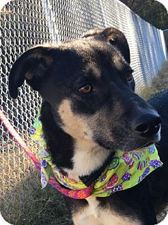 German Shepherd Dog Mix Dog for adoption in Muldrow, Oklahoma - Elrica
