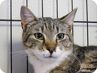 Domestic Shorthair Cat for adoption in Winston-Salem, North Carolina - Tiger