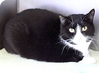 Domestic Shorthair Cat for adoption in South Haven, Michigan - Stella