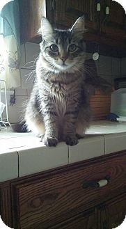 Domestic Mediumhair Cat for adoption in Locust, North Carolina - Sassy