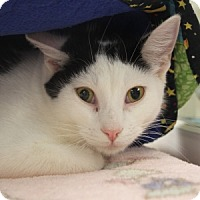 Domestic Shorthair Cat for adoption in Naperville, Illinois - Scooch