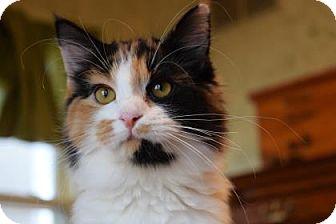 Domestic Mediumhair Kitten for adoption in Wichita, Kansas - Spice