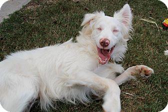 Australian Shepherd Mix Dog for adoption in Chattanooga, Tennessee - Zonder