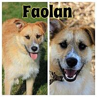 Adopt A Pet :: Faolan - WESTMINSTER, MD