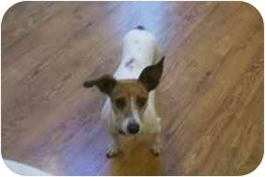 Jack Russell Terrier/Dachshund Mix Dog for adoption in Omaha, Nebraska - Bunny