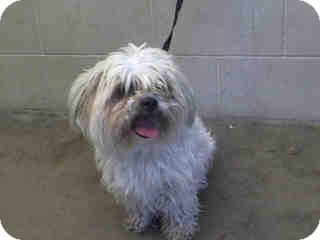 Lhasa Apso/Shih Tzu Mix Dog for adoption in Anaheim, California - Sprout