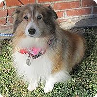 Adopt A Pet :: Lassie - La Habra, CA
