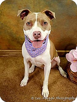 Pit Bull Terrier/Terrier (Unknown Type, Medium) Mix Dog for adoption in Lapeer, Michigan - Lilly