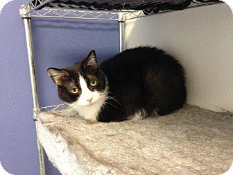 Domestic Shorthair Cat for adoption in Colorado Springs, Colorado - Cordie