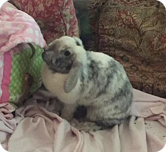 Lop-Eared for adoption in Lovingston, Virginia - Cookies n Cream (aka Cookie)  (COURTESY 8-31-16)