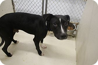 Pit Bull Terrier Mix Dog for adoption in Odessa, Texas - A12 ACE