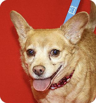 Chihuahua Mix Dog for adoption in Jackson, Michigan - Red