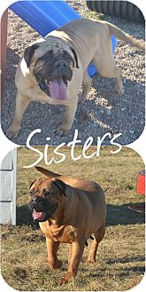 Bullmastiff Dog for adoption in Prole, Iowa - Ashlie & Autumn