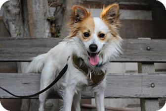 Papillon/Sheltie, Shetland Sheepdog Mix Dog for adoption in Los Angeles, California - Jasper