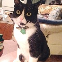 American Shorthair Kitten for adoption in Marina Del Ray, California - ACHILLES