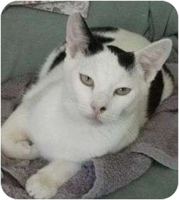 Domestic Shorthair Cat for adoption in Redondo Beach, California - Gordan