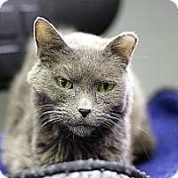 Adopt A Pet :: Golden Girl - Chicago, IL