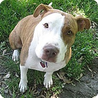 American Staffordshire Terrier Mix Dog for adoption in Detroit, Michigan - Vayda