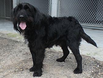 Welsh Terrier/Cocker Spaniel Mix Dog for adoption in Seguin, Texas - Rollo